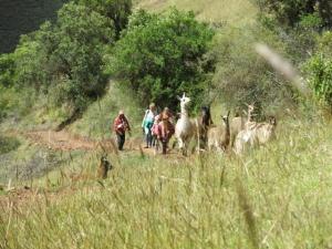 wandelen met lama's in Peru
