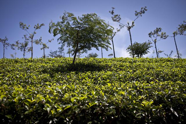 Theeplantages Sri-Lanka