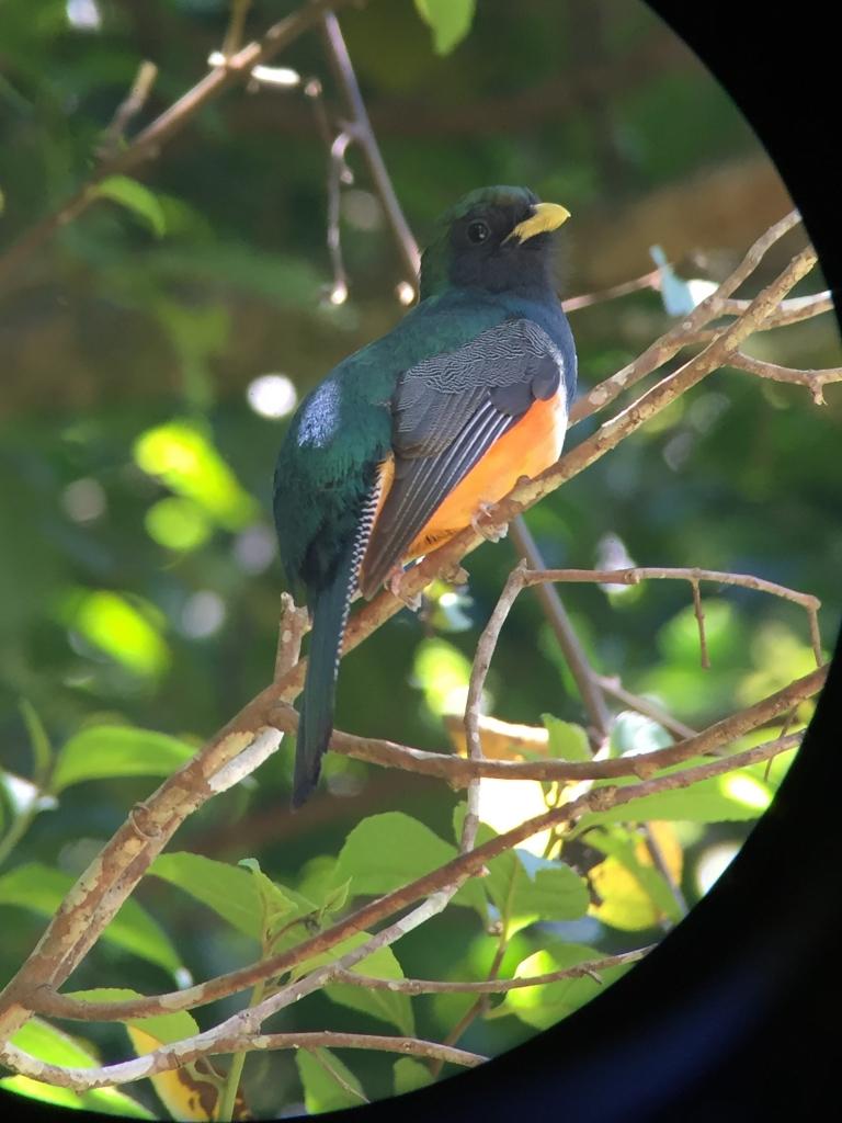 Quetzal Costa Rica vogel