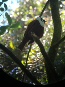 Bellbird Monteverde