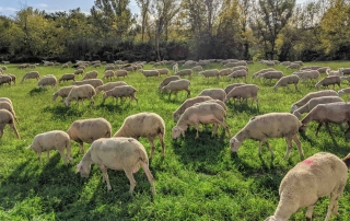 Sheeps from Abruzzo