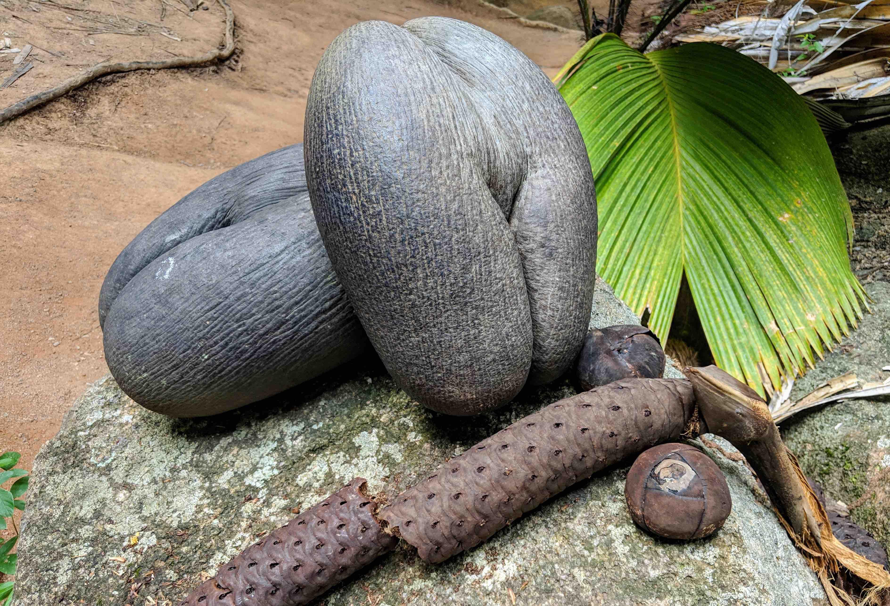 Coco de Mer Seychellem