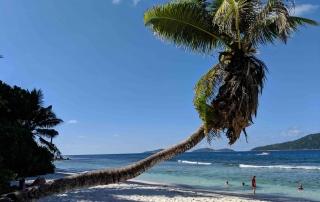 Hanging palmtree Seychelles