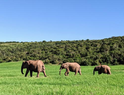 Waar olifanten spotten in Zuid-Afrika?| Addo aan de Tuinroute!