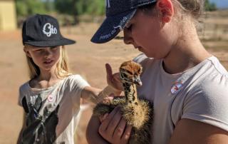 Struisvogels Zuid-Afrika