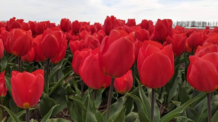 De mooiste tulpenvelden