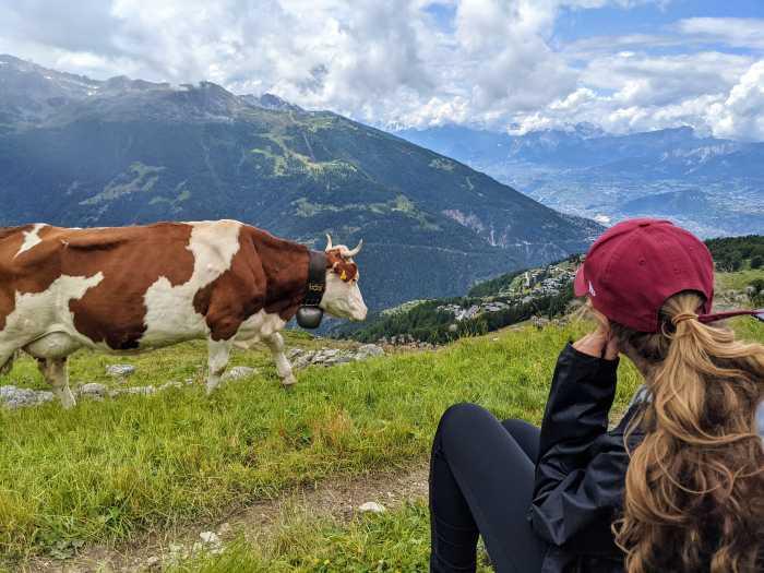 Wandelen langs koeien Zwitserland